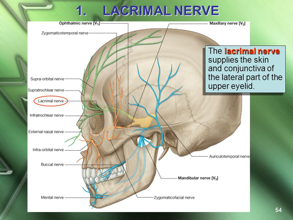LACRIMAL NERVE The lacrimal nerve supplies the skin and conjunctiva of the lateral part of the upper eyelid.