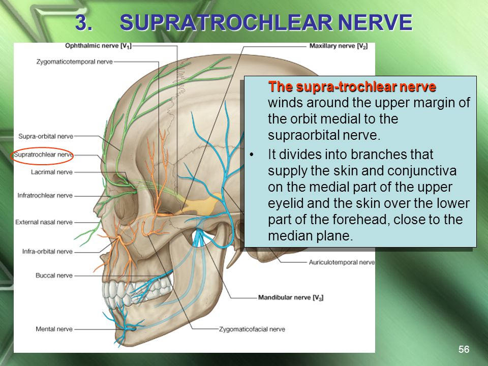 SUPRATROCHLEAR NERVE The supra-trochlear nerve winds around the upper margin of the orbit medial to the supraorbital nerve.