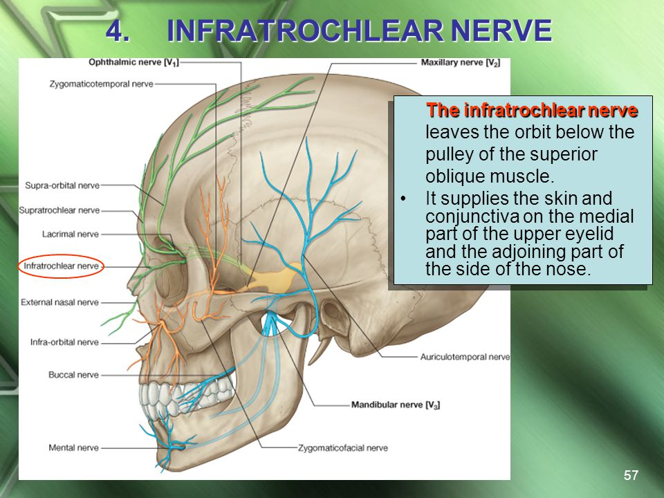 INFRATROCHLEAR NERVE The infratrochlear nerve leaves the orbit below the pulley of the superior oblique muscle.