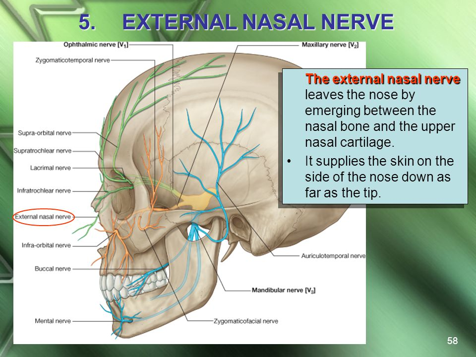 EXTERNAL NASAL NERVE The external nasal nerve leaves the nose by emerging between the nasal bone and the upper nasal cartilage.