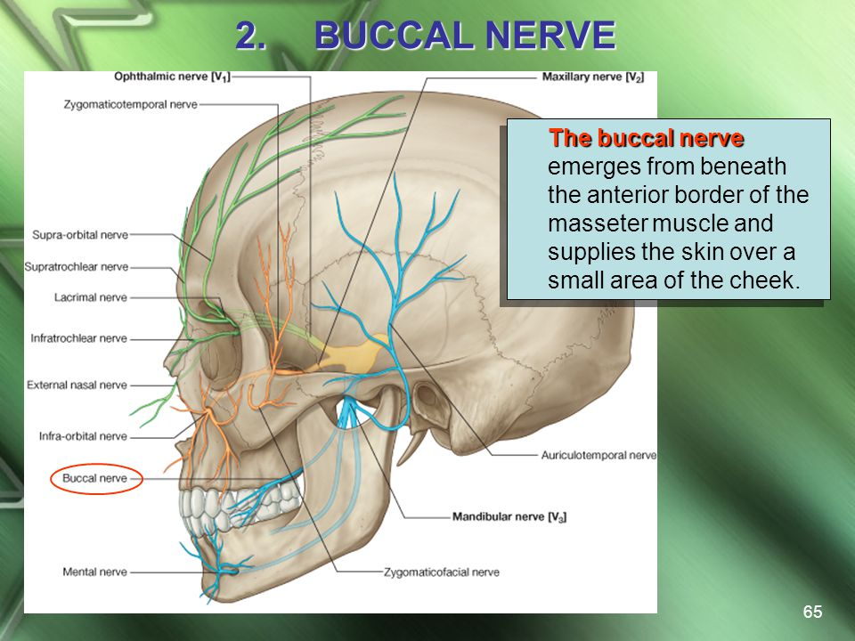 BUCCAL NERVE The buccal nerve emerges from beneath the anterior border of the masseter muscle and supplies the skin over a small area of the cheek.