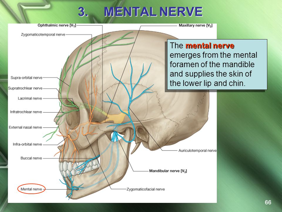 MENTAL NERVE The mental nerve emerges from the mental foramen of the mandible and supplies the skin of the lower lip and chin.