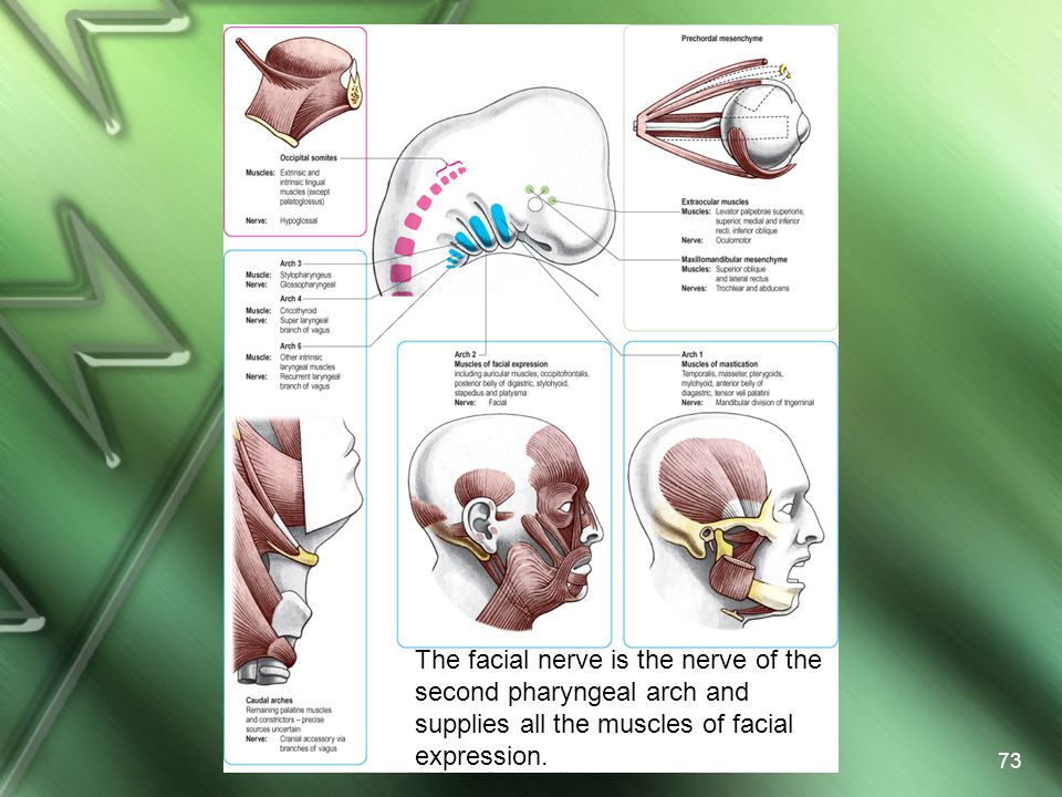 The facial nerve is the nerve of the second pharyngeal arch and supplies all the muscles of facial expression.