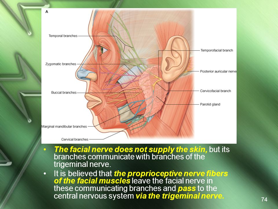 The facial nerve does not supply the skin, but its branches communicate with branches of the trigeminal nerve.