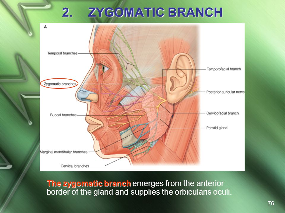 ZYGOMATIC BRANCH The zygomatic branch emerges from the anterior border of the gland and supplies the orbicularis oculi.