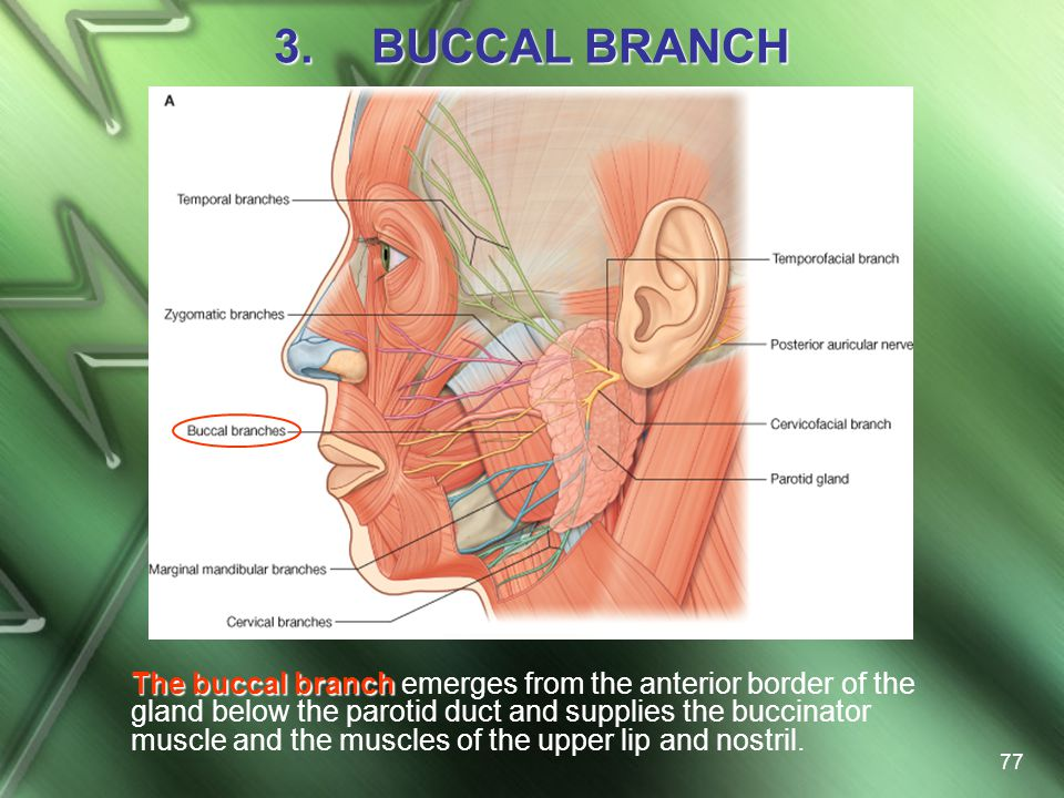 BUCCAL BRANCH