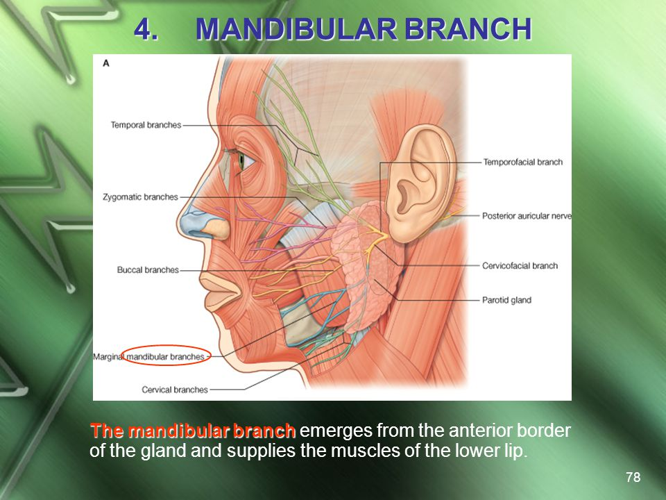 MANDIBULAR BRANCH The mandibular branch emerges from the anterior border of the gland and supplies the muscles of the lower lip.