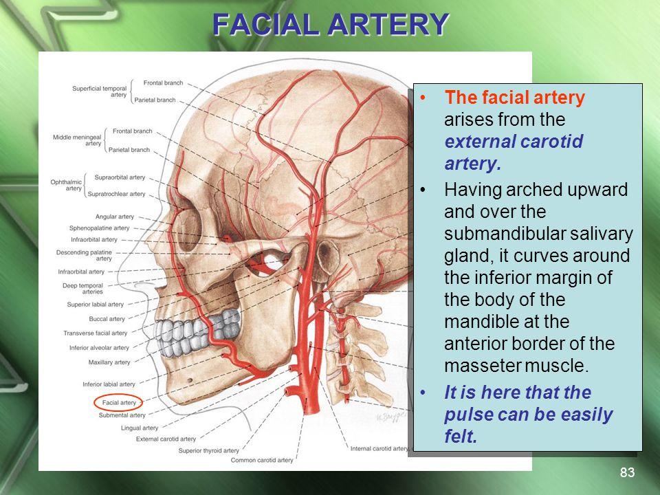 FACIAL ARTERY The facial artery arises from the external carotid artery.