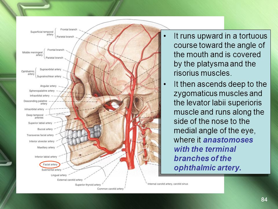 It runs upward in a tortuous course toward the angle of the mouth and is covered by the platysma and the risorius muscles.