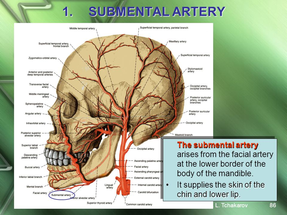 SUBMENTAL ARTERY The submental artery arises from the facial artery at the lower border of the body of the mandible.