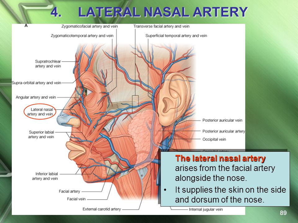 LATERAL NASAL ARTERY The lateral nasal artery arises from the facial artery alongside the nose.