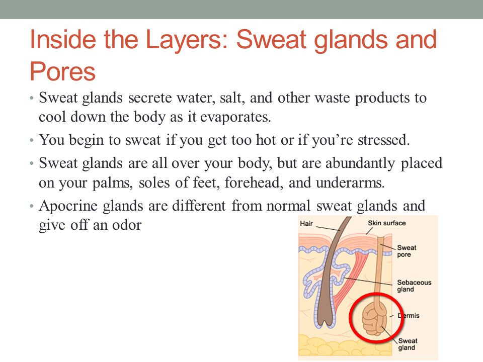 Inside the Layers: Sweat glands and Pores