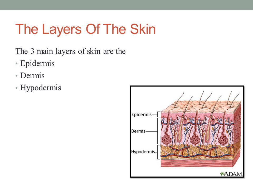 The Layers Of The Skin The 3 main layers of skin are the Epidermis