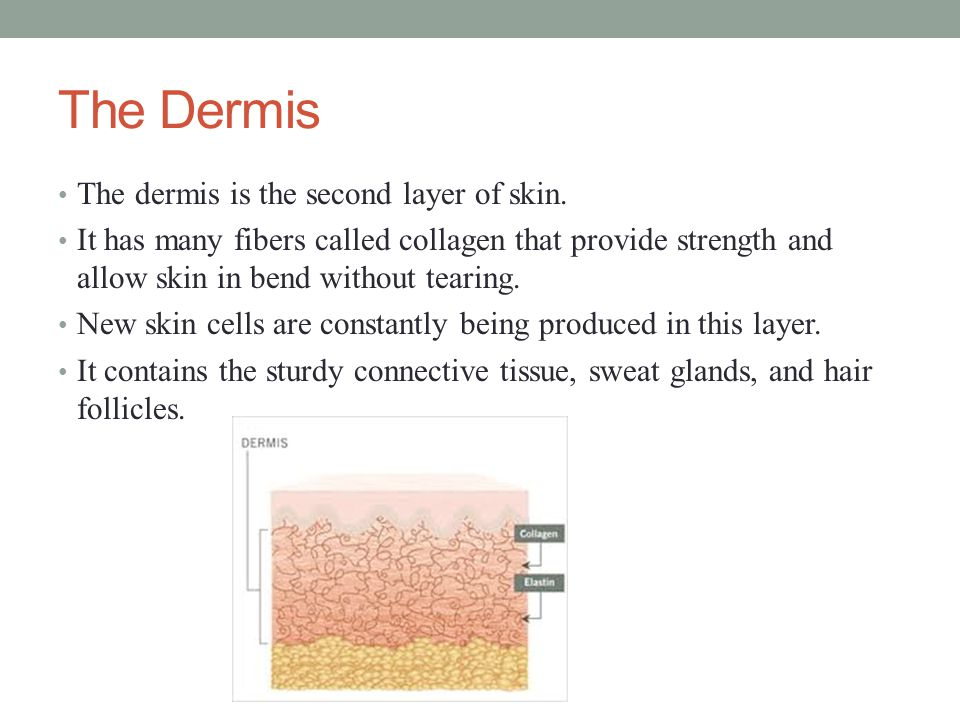 The Dermis The dermis is the second layer of skin.