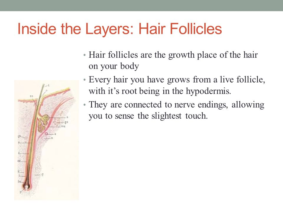 Inside the Layers: Hair Follicles