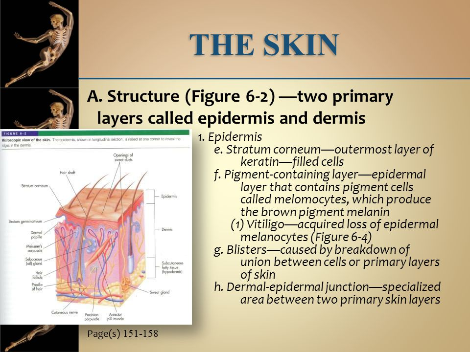 THE SKIN A. Structure (Figure 6-2) —two primary layers called epidermis and dermis. 1. Epidermis.