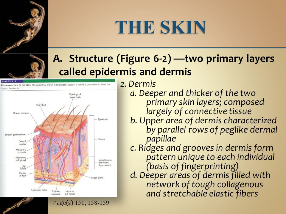 THE SKIN Structure (Figure 6-2) —two primary layers called epidermis and dermis. fibers. 2. Dermis.