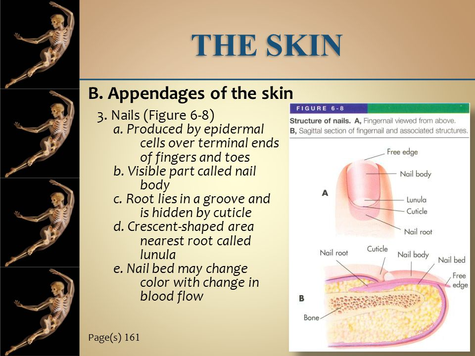 THE SKIN B. Appendages of the skin 3. Nails (Figure 6-8)