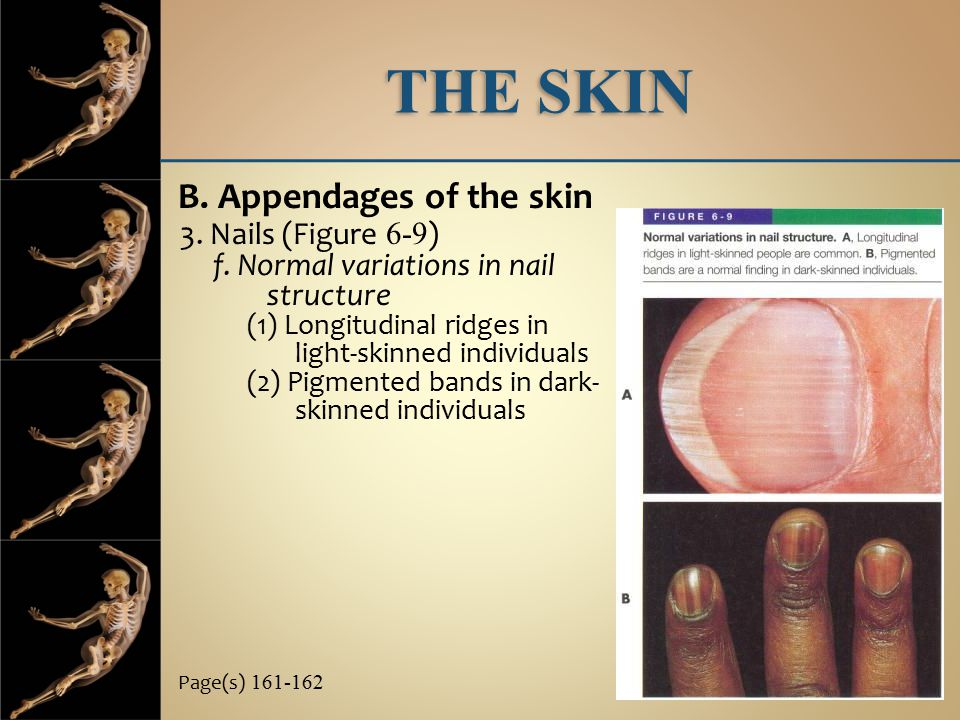 THE SKIN B. Appendages of the skin 3. Nails (Figure 6-9)