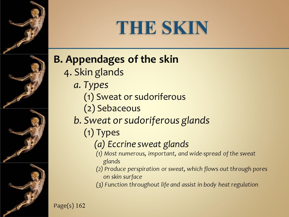THE SKIN B. Appendages of the skin 4. Skin glands a. Types