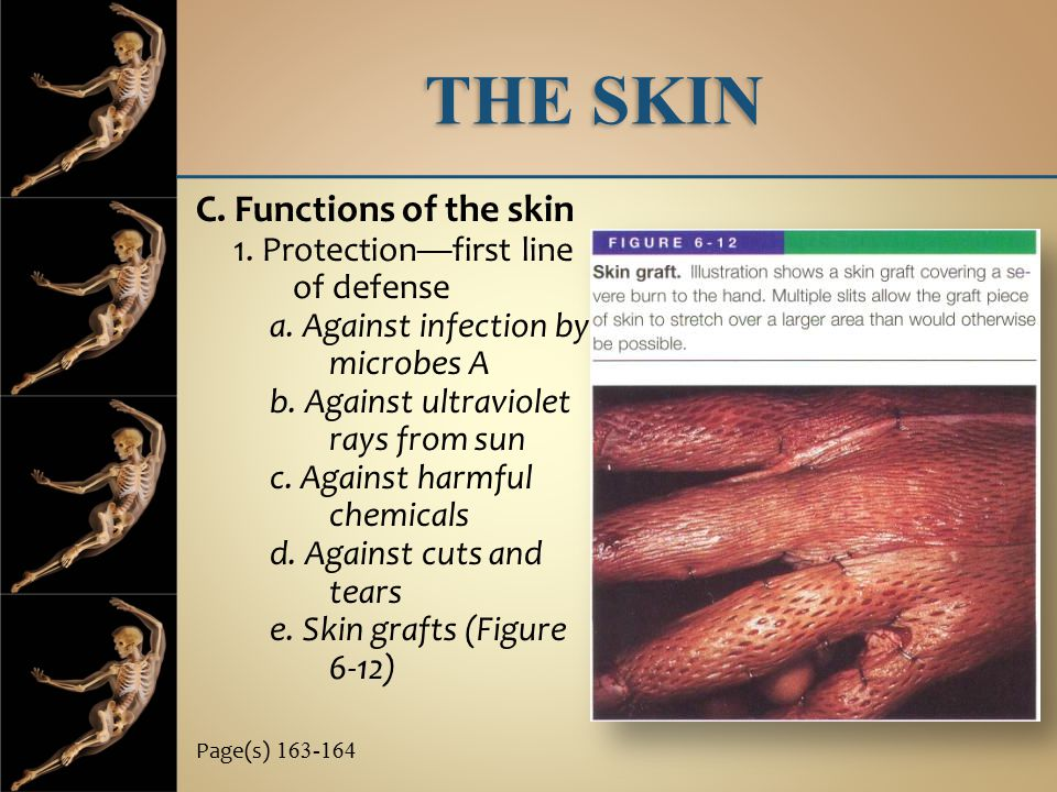 THE SKIN C. Functions of the skin 1. Protection—first line of defense