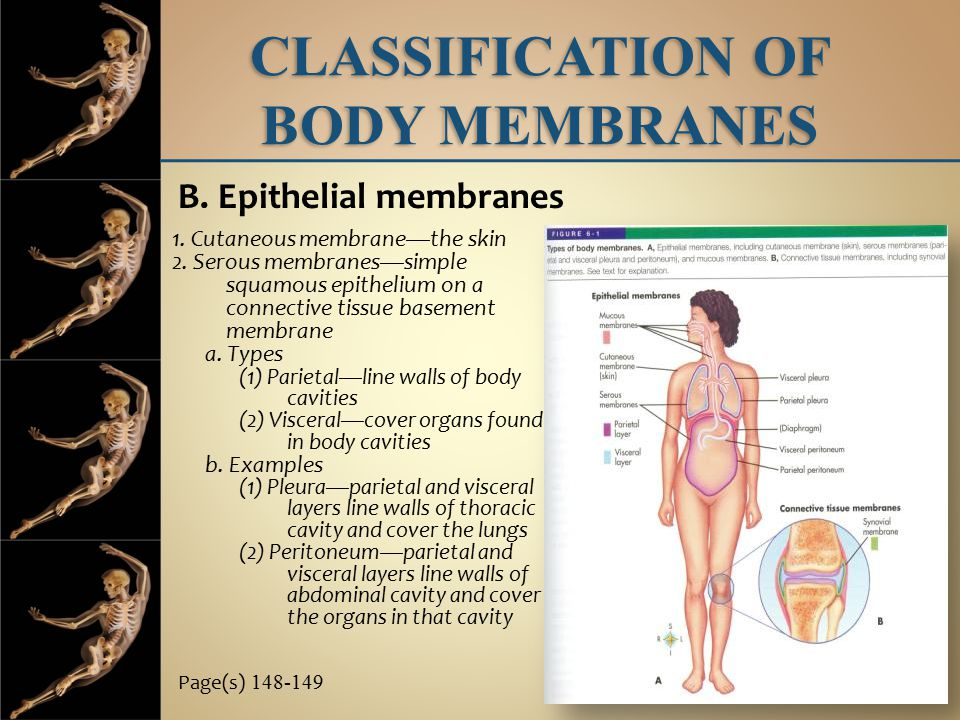 lab a p classification of body membranes A&p ch 4 study guide – tissues & membranes 1 name the four major types of tissues and their primary functions following table relating to body membranes.