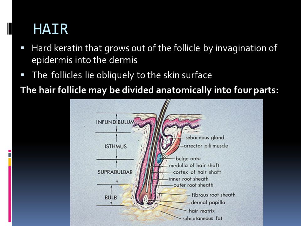 HAIR Hard keratin that grows out of the follicle by invagination of epidermis into the dermis. The follicles lie obliquely to the skin surface.