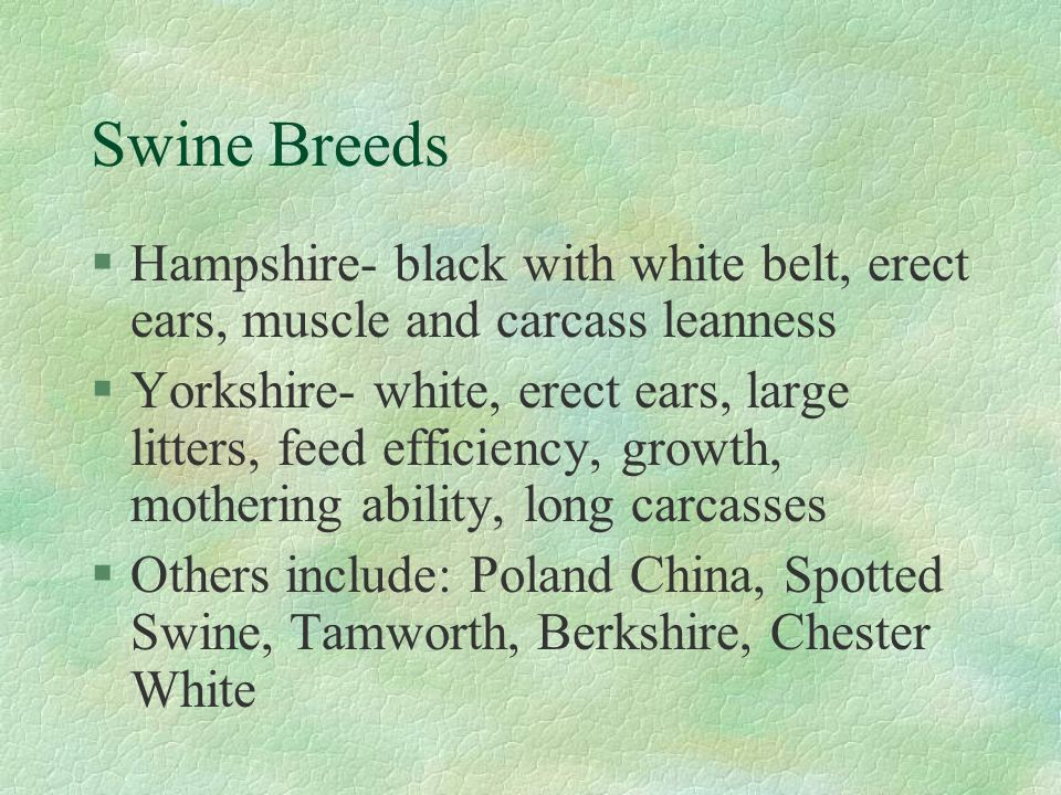 Swine Breeds Hampshire- black with white belt, erect ears, muscle and carcass leanness.