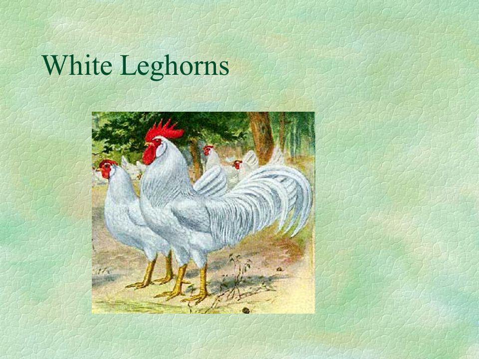 White Leghorns