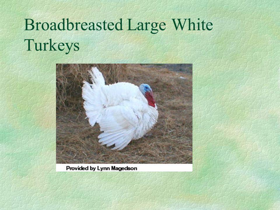 Broadbreasted Large White Turkeys