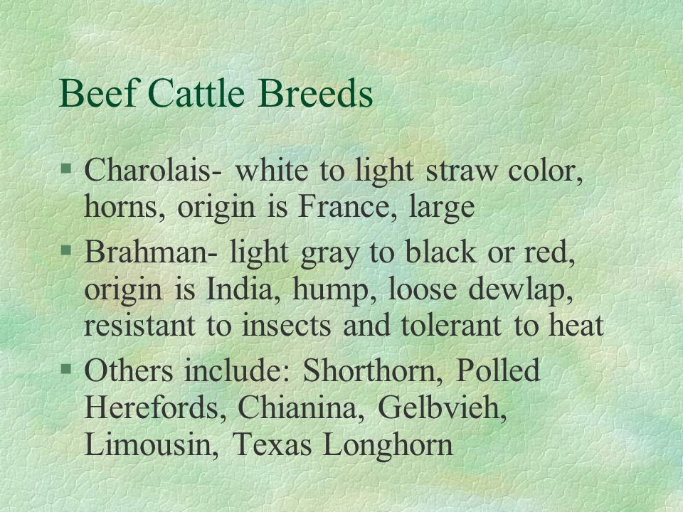 Beef Cattle Breeds Charolais- white to light straw color, horns, origin is France, large.