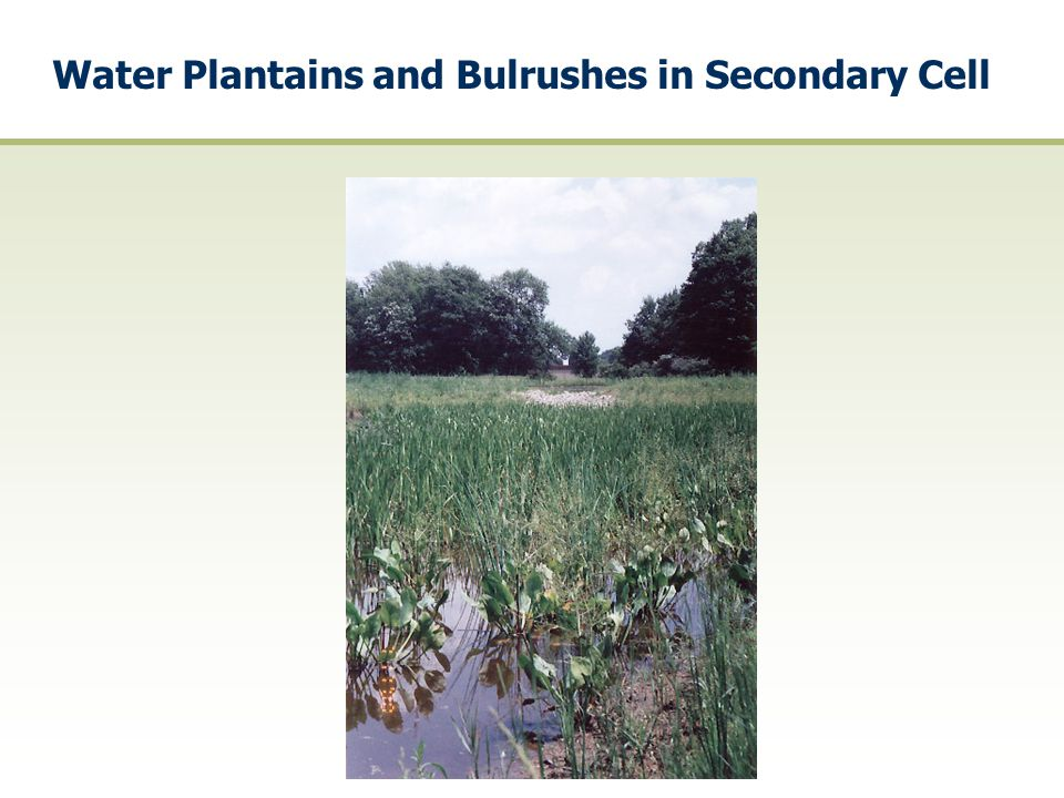 Water Plantains and Bulrushes in Secondary Cell