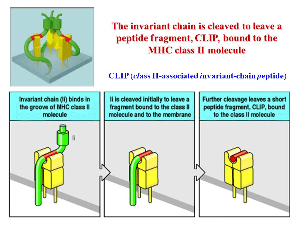 The invariant chain is cleaved to leave a peptide fragment, CLIP, bound to the MHC class II molecule