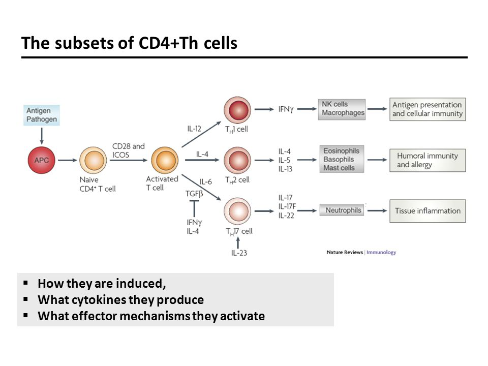 The subsets of CD4+Th cells