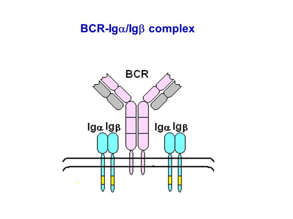 BCR-Iga/Igb complex