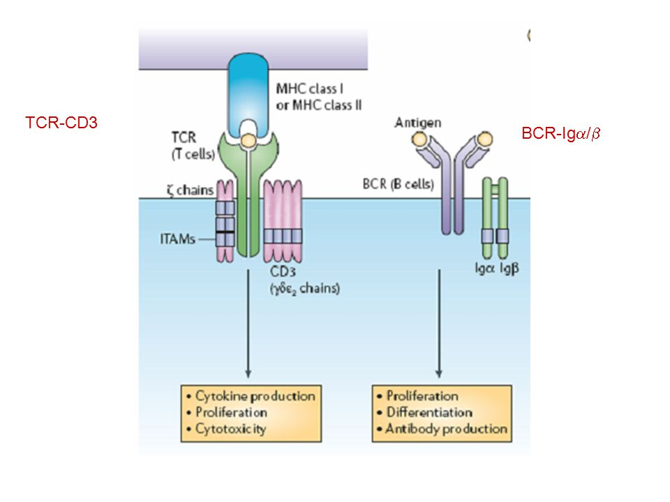 TCR-CD3 BCR-Iga/b
