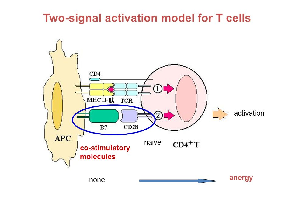 Two-signal activation model for T cells