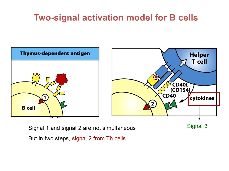 Two-signal activation model for B cells