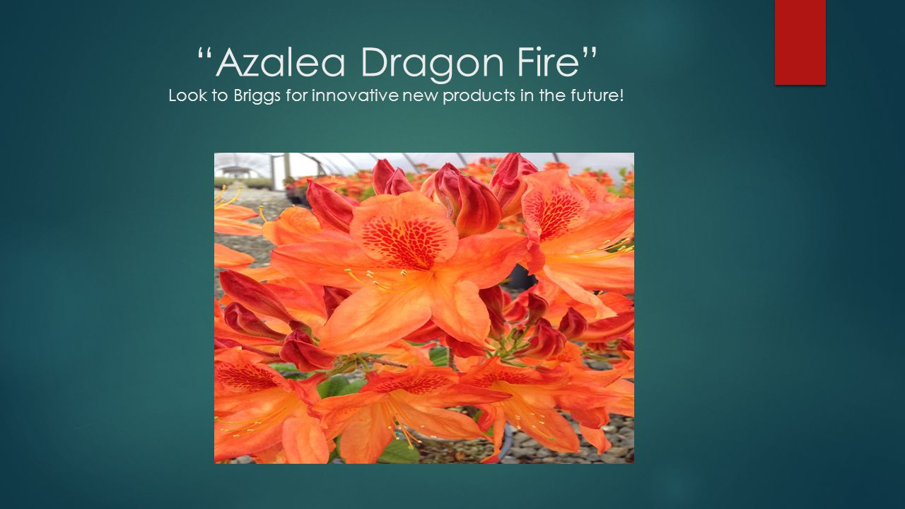Azalea Dragon Fire Look to Briggs for innovative new products in the future!