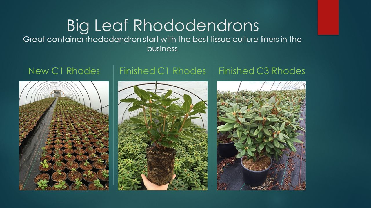 Big Leaf Rhododendrons Great container rhododendron start with the best tissue culture liners in the business