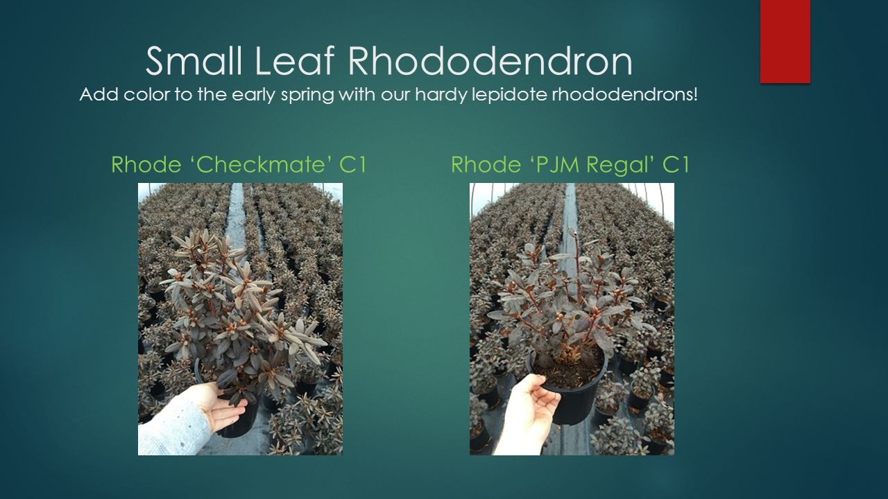 Small Leaf Rhododendron Add color to the early spring with our hardy lepidote rhododendrons!