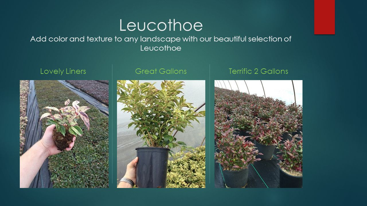 Leucothoe Add color and texture to any landscape with our beautiful selection of Leucothoe