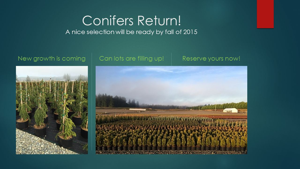 Conifers Return! A nice selection will be ready by fall of 2015