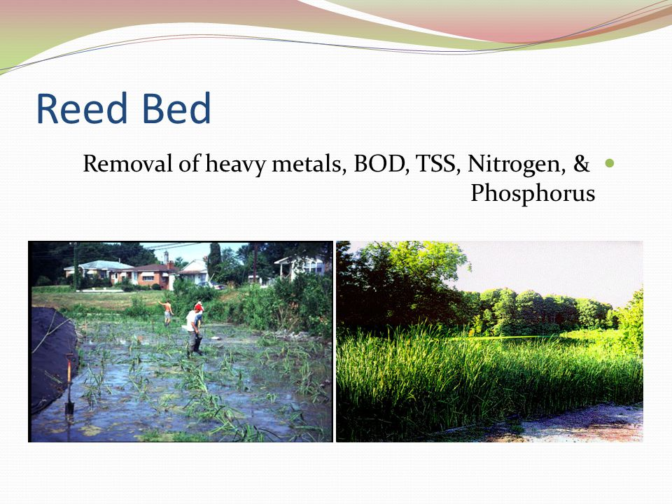 Reed Bed Removal of heavy metals, BOD, TSS, Nitrogen, & Phosphorus