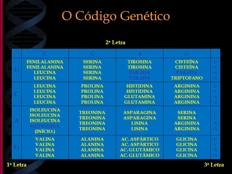 O Código Genético 2a Letra U C A G 1a Letra 3a Letra FENILALANINA