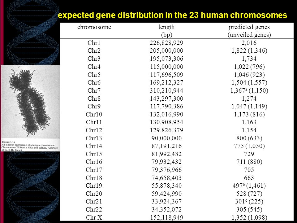 expected gene distribution in the 23 human chromosomes