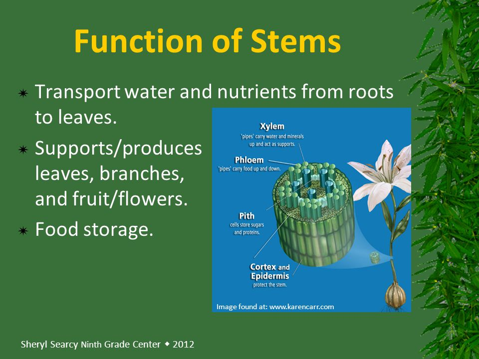 Function of Stems Transport water and nutrients from roots to leaves.