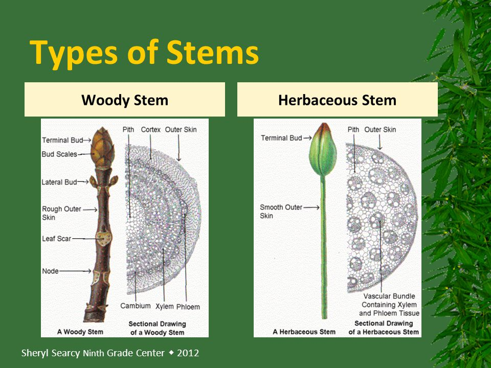 Types of Stems Woody Stem Herbaceous Stem