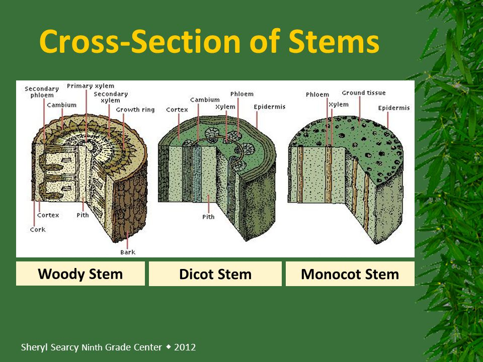 Cross-Section of Stems