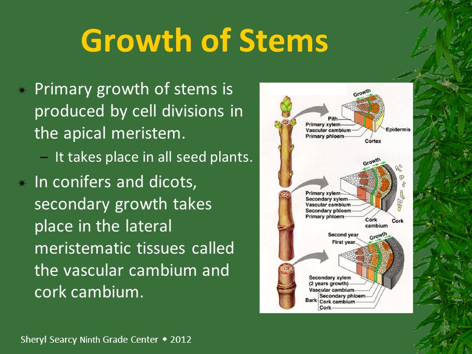 Growth of Stems Primary growth of stems is produced by cell divisions in the apical meristem. It takes place in all seed plants.
